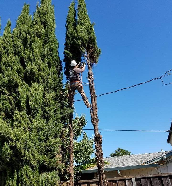 Acevedo Tree Service Arborist Services